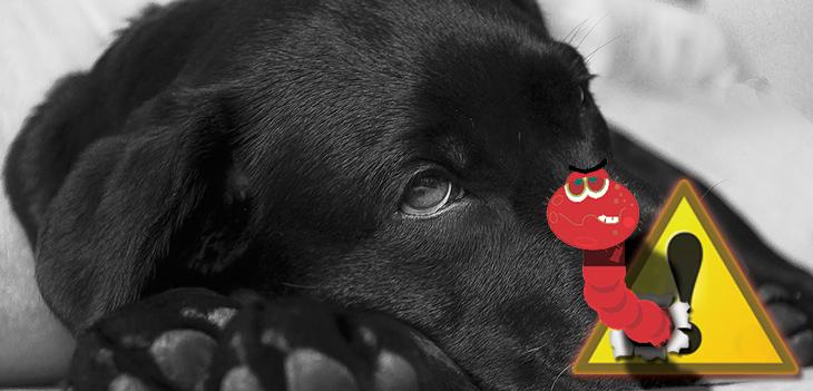 A férgesség tünetei kutyáknál