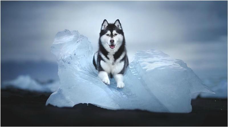 """""""Csodákra vágyni"""" – Alicja Zmyslowska fotóművész lélekkel teli kutyaportréi lenyűgöző szépségű sarkvidéki tájakon"""